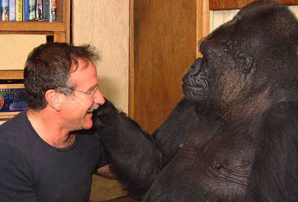 Robin-Williams koko gorille